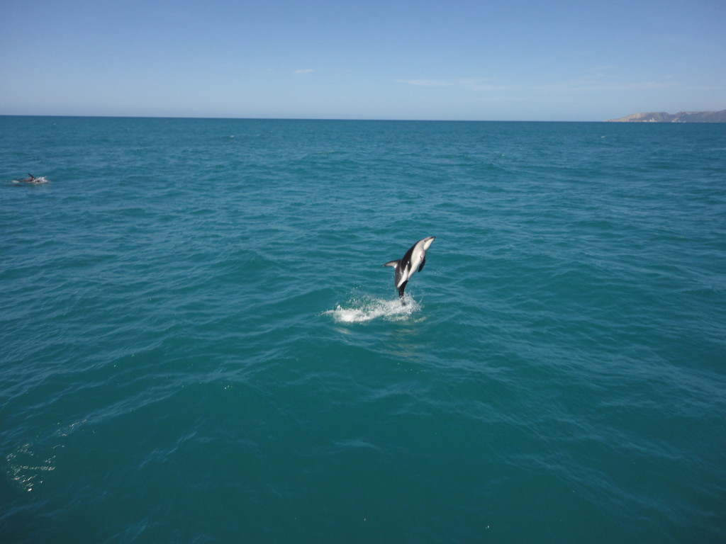 A Hector's Dolphin jumping out of the water