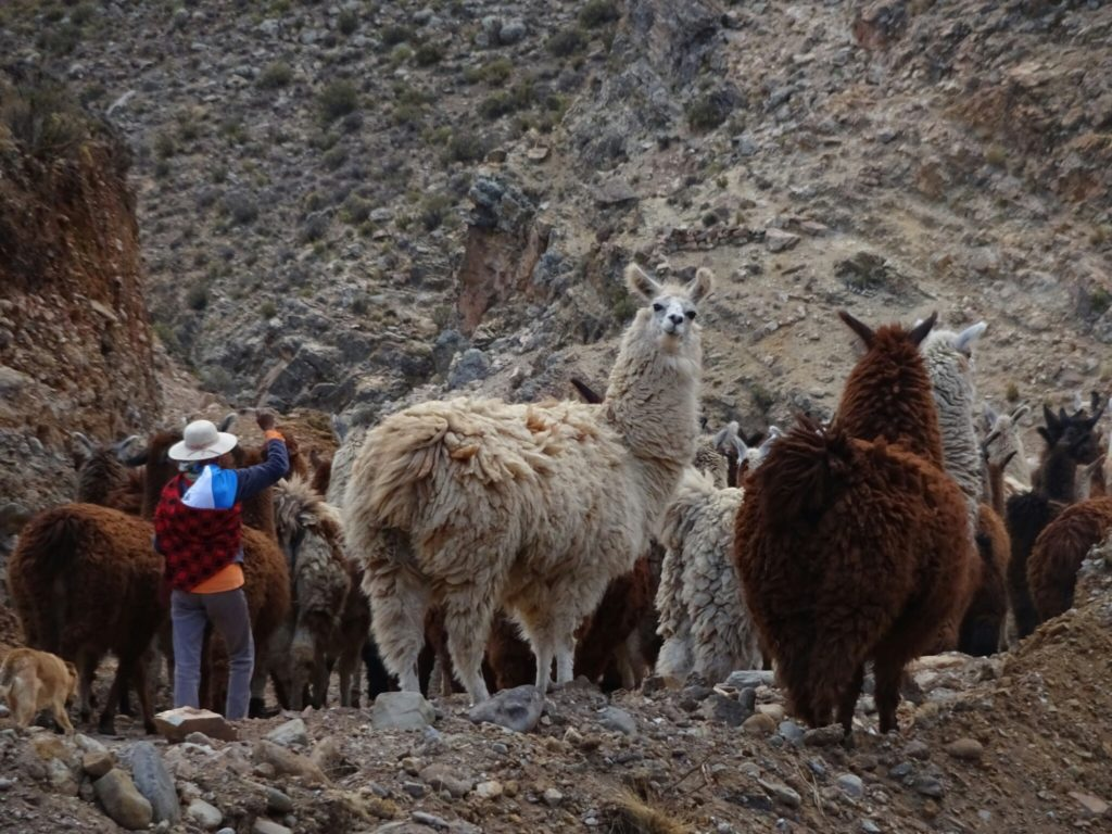 ...we found our way blocked by a herd of llamas